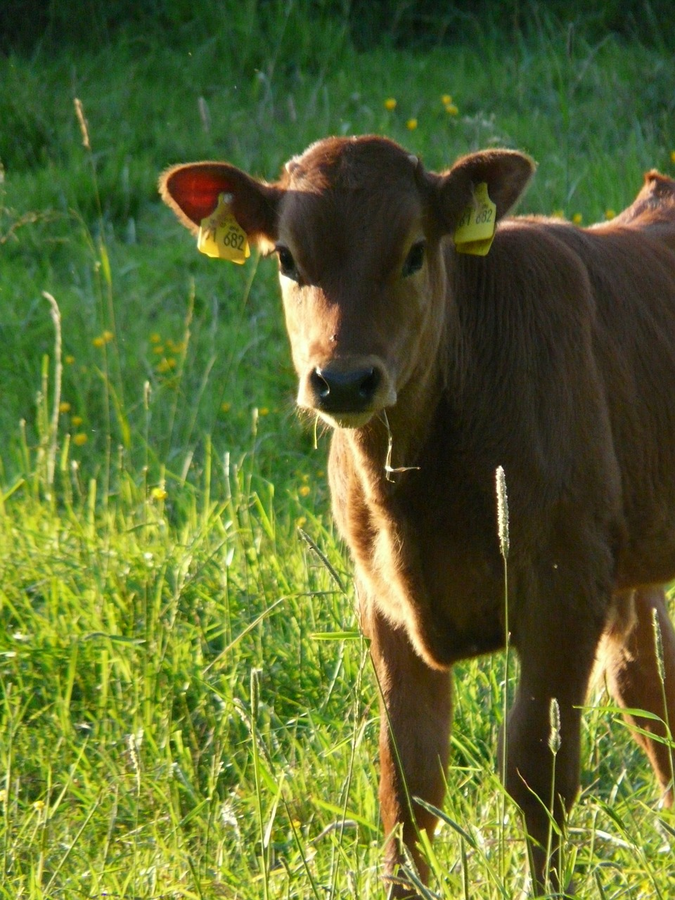 cow-56021_1280
