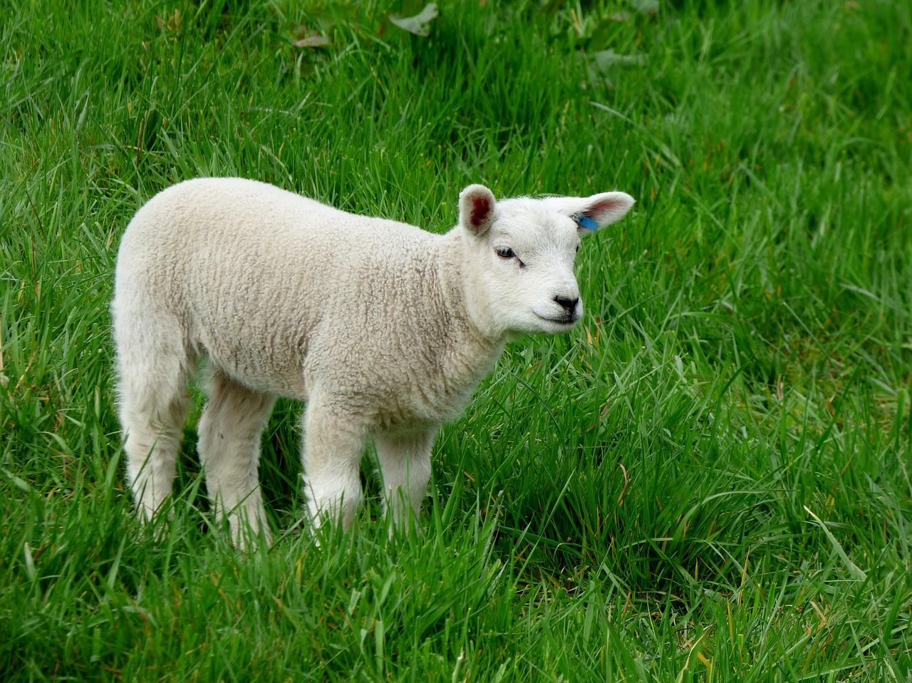 lamb-502557_1280
